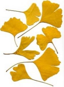 Blätter der Ginkopflanze
